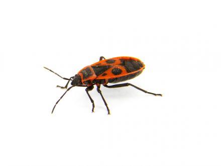Eldskinnbagge (Pyrrhocoridae)